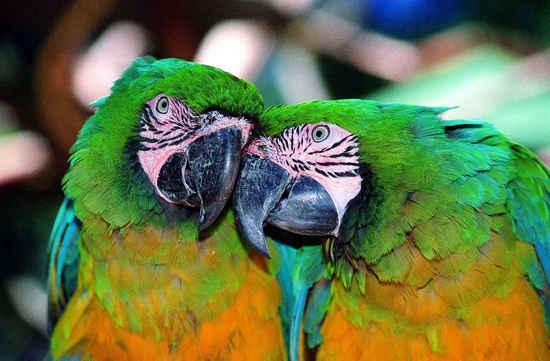 Papagayos enamorados Imágenes de pajaritos enamorados