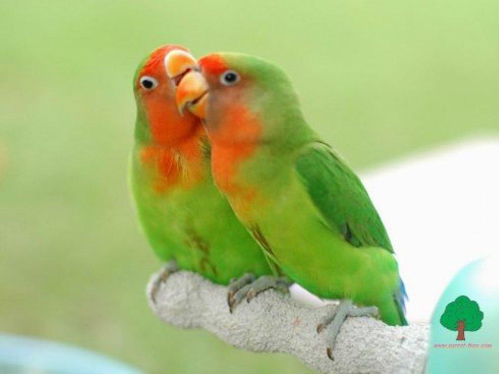 mini parrot 073 enamorados 1024 x 768 Imágenes de pajaritos enamorados