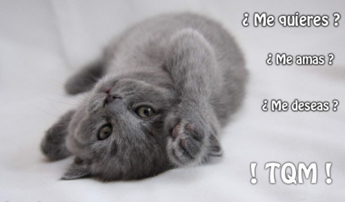 Imágenes lindas de gatitos con frases